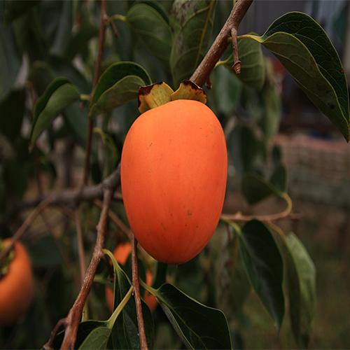 광일농원 감나무묘목특가 5그루 대봉 단감 태추 월하 둥시, 1개