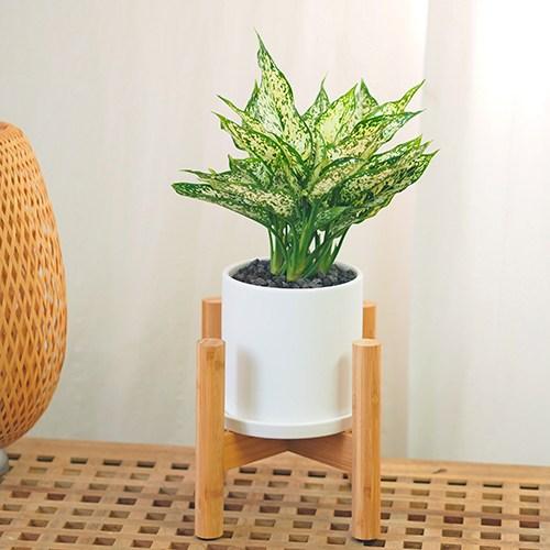 고미플라워 공기정화식물 우드스탠드 화분 세트 중형 식물 모음 18종, 스노우사파이어