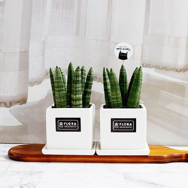 플로라 선물용 본셀 통통이 스투키 3종 공기정화식물, 1개, 화이트(소형화분)