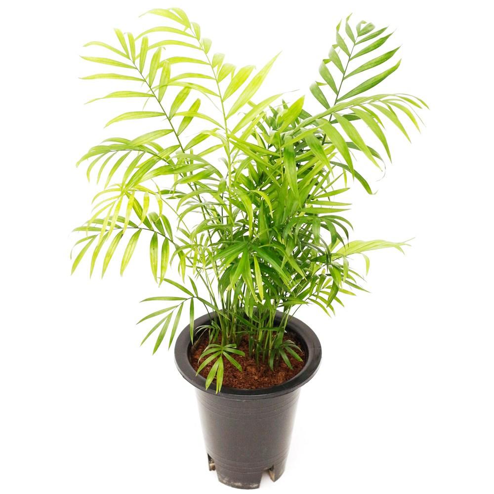 아침향기 공기정화식물 중형 대형 화분, (중형) 테이블야자, 1개