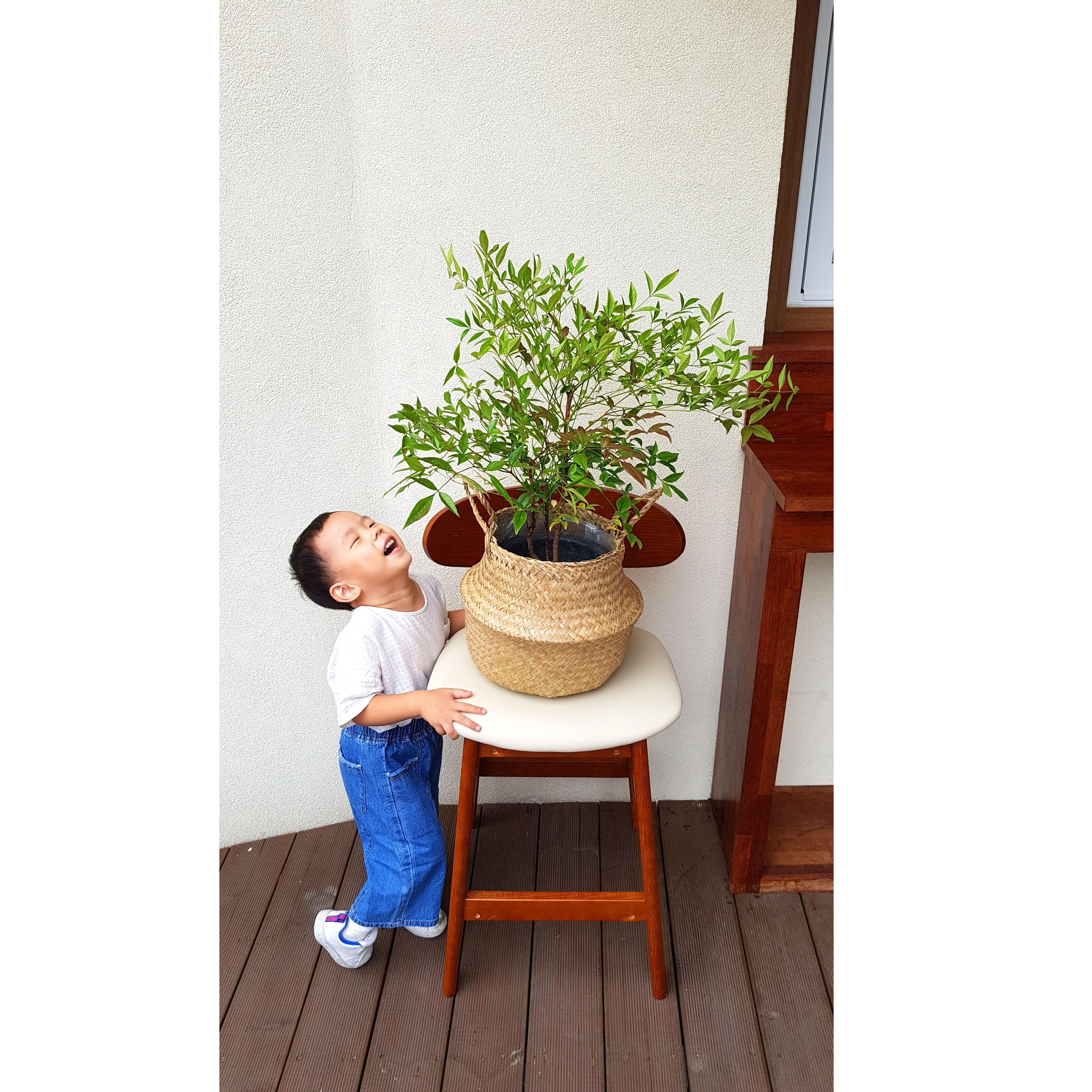 [재재나무] 남천 나무 + 해초바구니 세트 반려식물, 내추럴 해초바구니