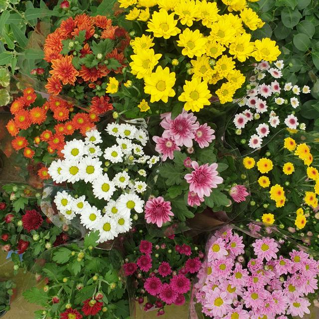 장미농원 국화꽃 모종 식물 화분 나무 가을꽃모종 가을꽃 종류다양, 1개, 국화화분랜덤