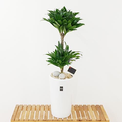 햇살농장 중대형 공기정화식물 인테리어 개업화분, 1개, 6.(중형)콤펙타