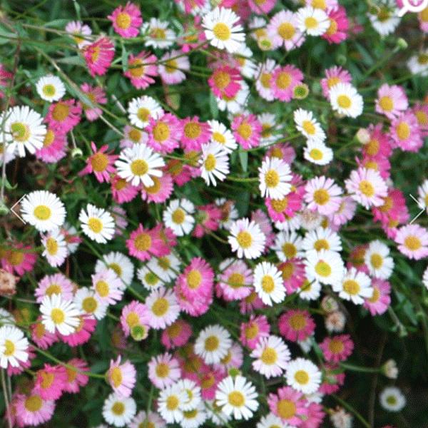 복남이네야생화 원평소국 [4포트] (10cm포트 국화 핑크 화이트 긴개화 모종)