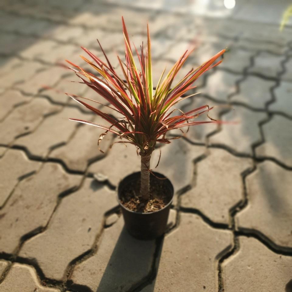 공룡꽃식물원(주) 레인보우마지나타 30~50cm 69
