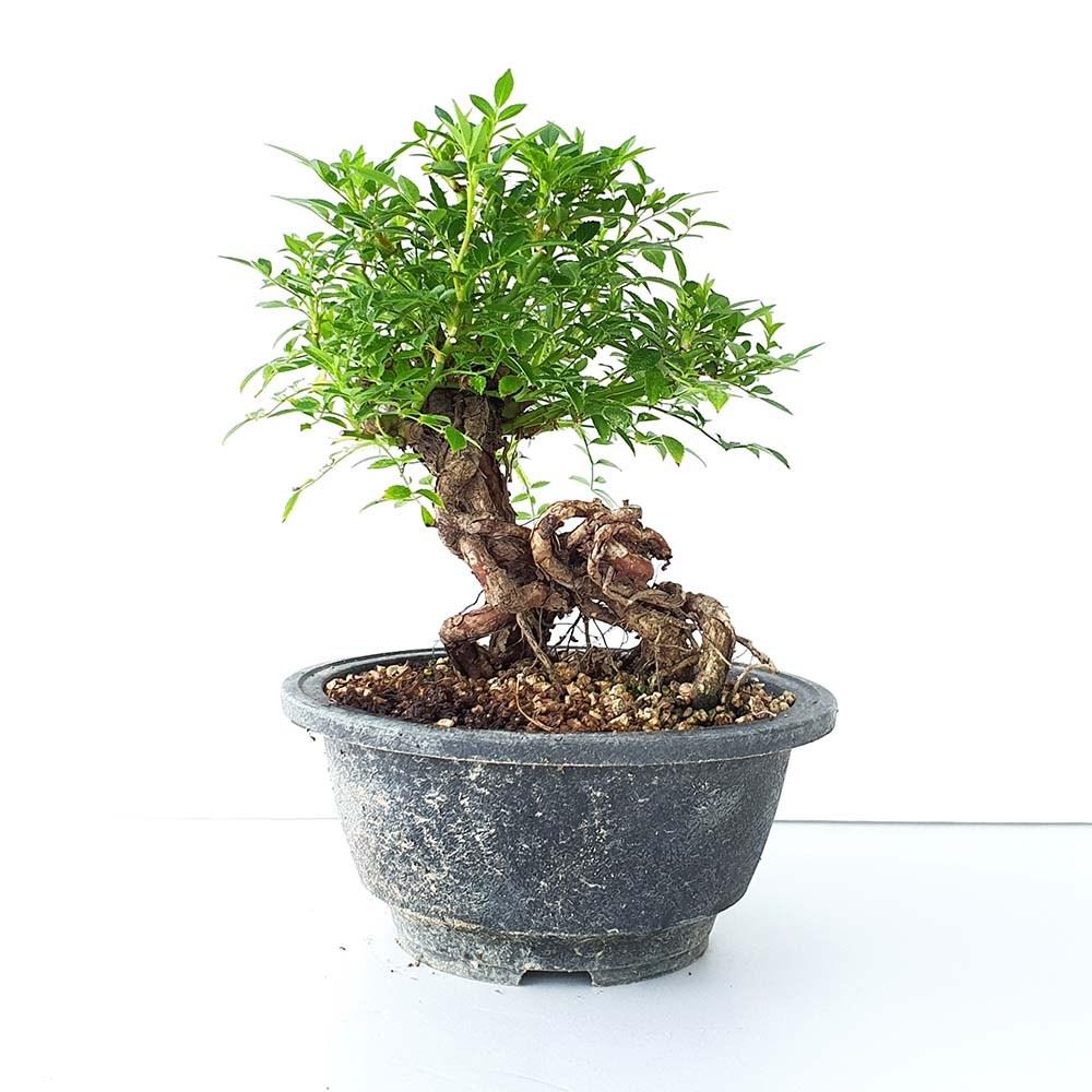 그린피아약초 분홍 찔레 미니 장미 중형 분재 나무 베란다 책상 화분