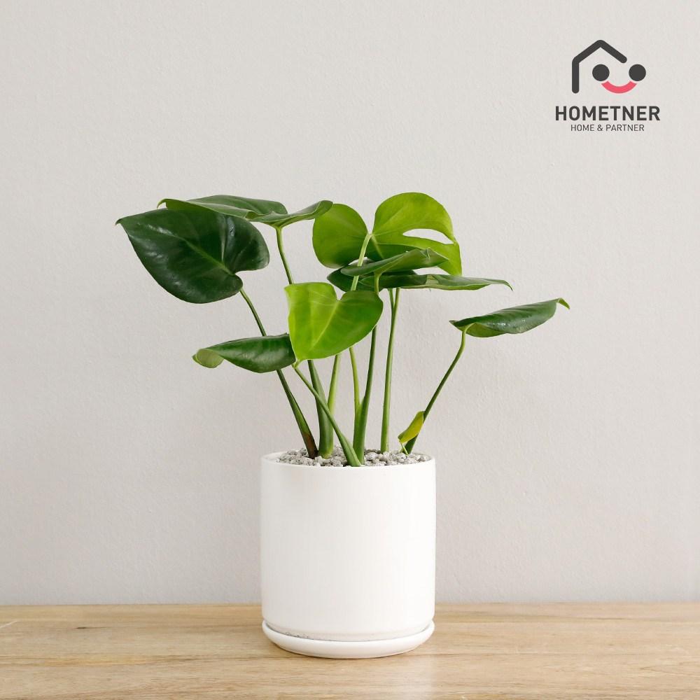 홈트너 실내공기정화식물 관엽 인테리어식물, 1Ea, 3_1 몬스테라 극소