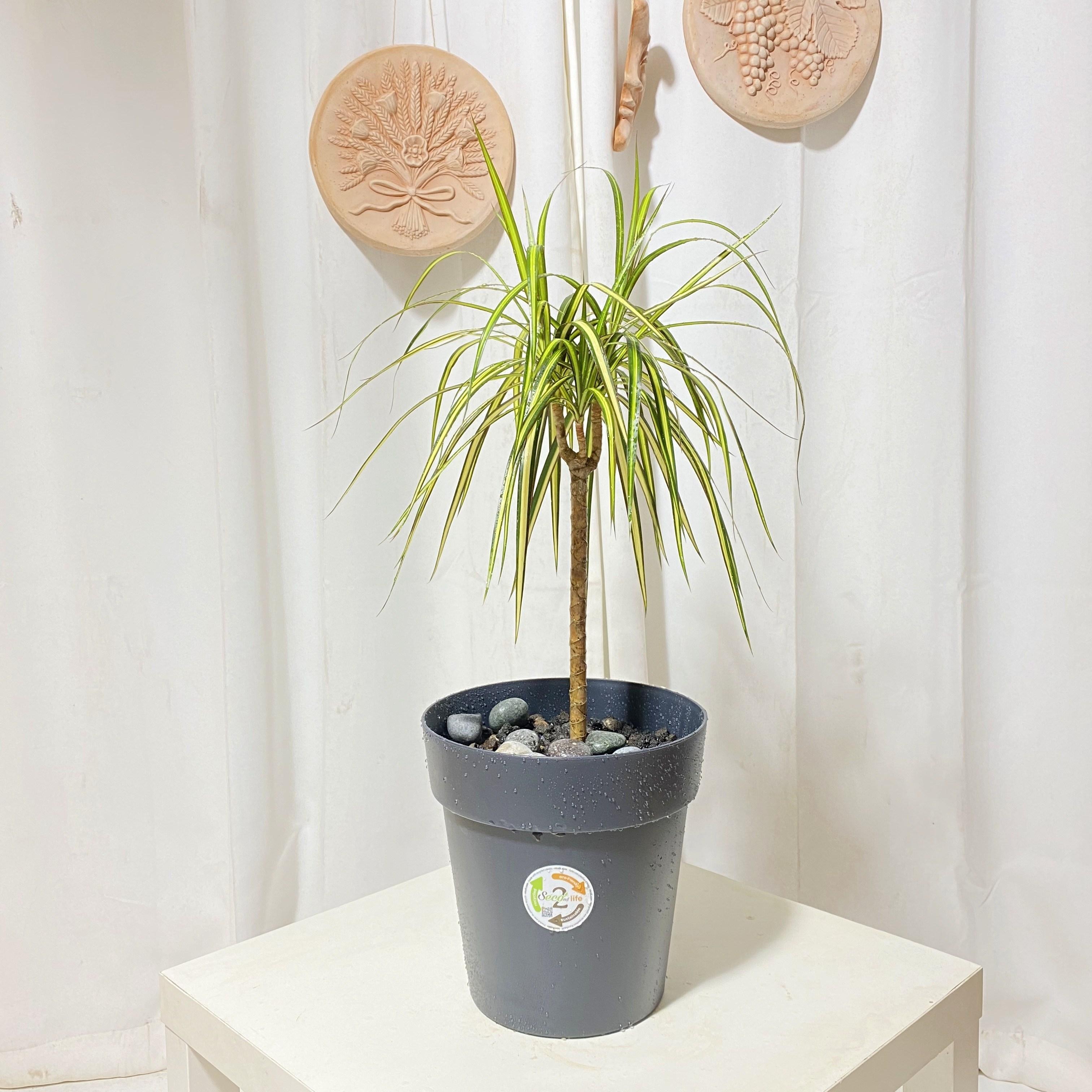 청년농부 드라세나 마지나타 이태리 플라스틱 화분 완제품 식재완료 인테리어식물, 짙은갈색