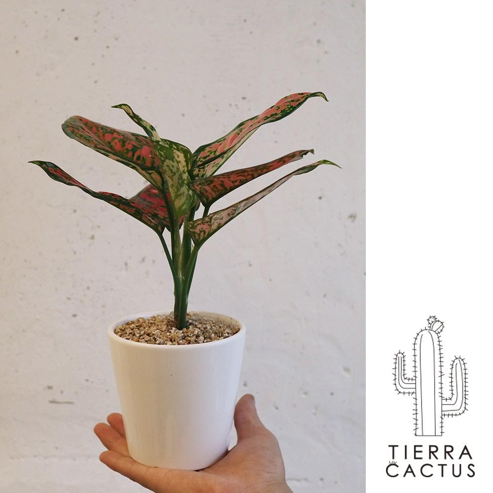 *티에라선인장* 화분포함 완제품)테이블사이즈 공기정화 식물 6종 셀렘 마리안느 스파트 칼라데아 스노우 사파이어 엔젤, 스노우 엔젤