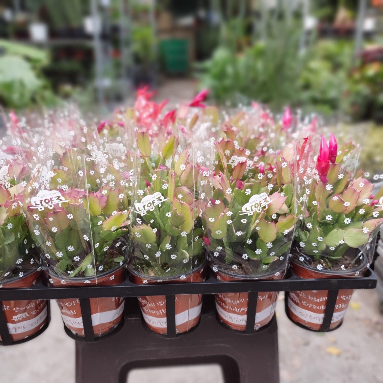 식물 공장 20개 식물도매 대량구매 게발선인장 다육식물 다육이 소품 인테리어식물 수입식물 희귀식물 공기정화식물 28