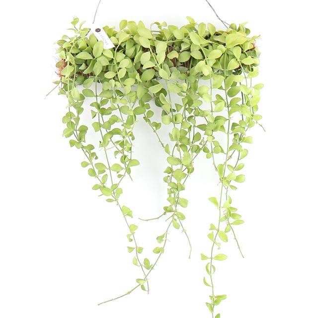 갑조네 롱디시디아 2020.06 신상품 인테리어 식물 공기정화 카페인테리어 공중식물 롱바 디시디아