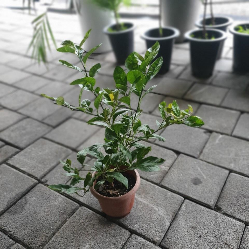 식물공장 레몬나무 중대품 30~60cm 149 과실수 열매나무
