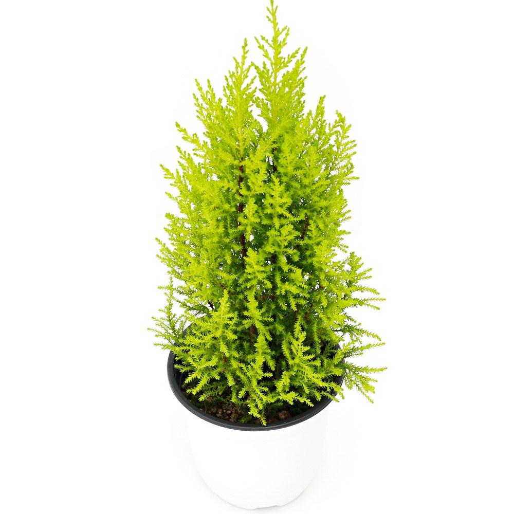 아침향기 공기정화식물 중형 대형 화분, (중형) 율마, 1개