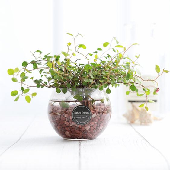 그린테라피 수경재배식물 유리병 실내공기정화식물 수중식물키우기 DIYSET, 트리안+어항