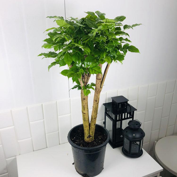 수입산 대형 녹보수 높이 약 80cm 목대가 굵어요 공기정화 식물 플랜테리어