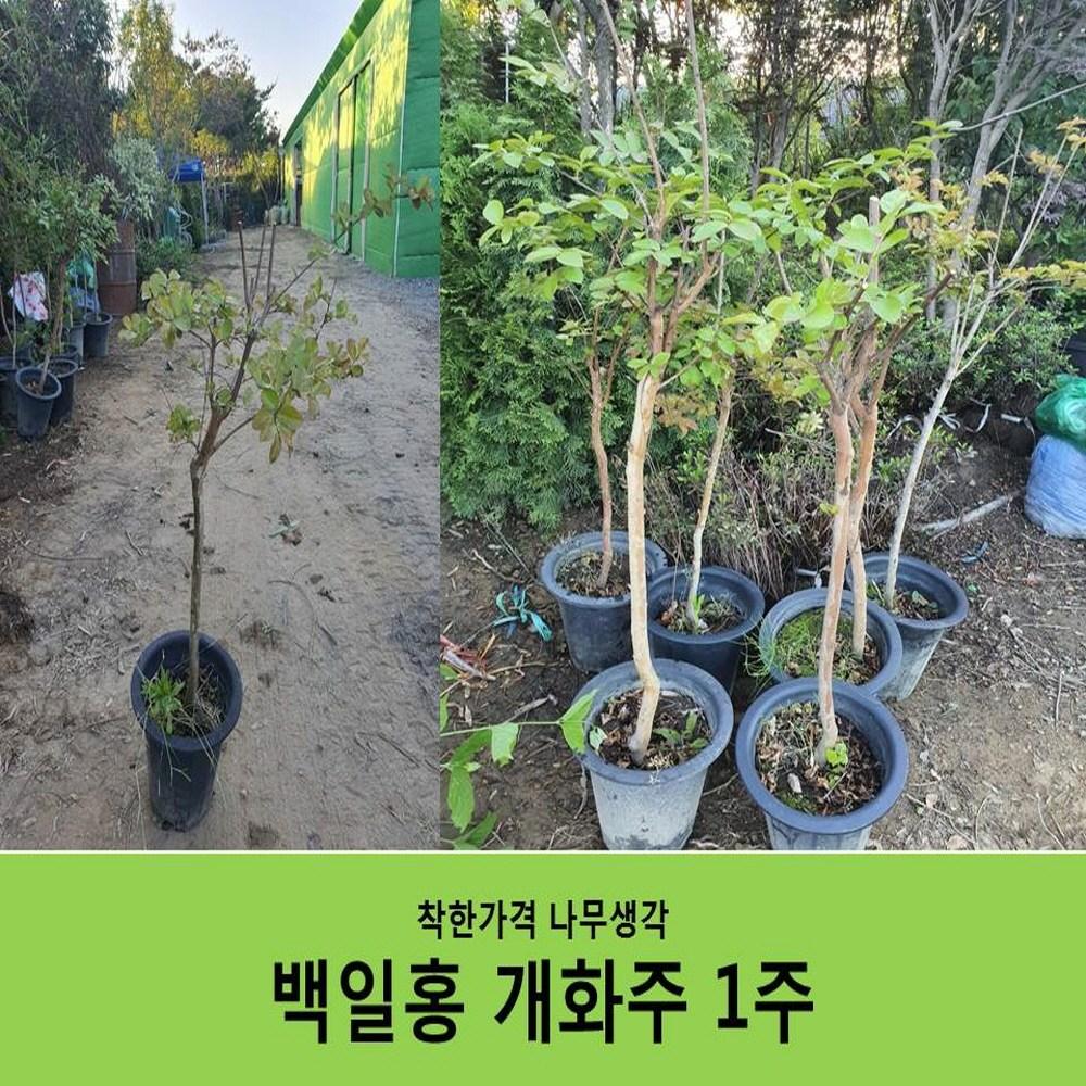 착한가격 나무생각 백일홍(분홍꽃)개화주H1.0~1.2