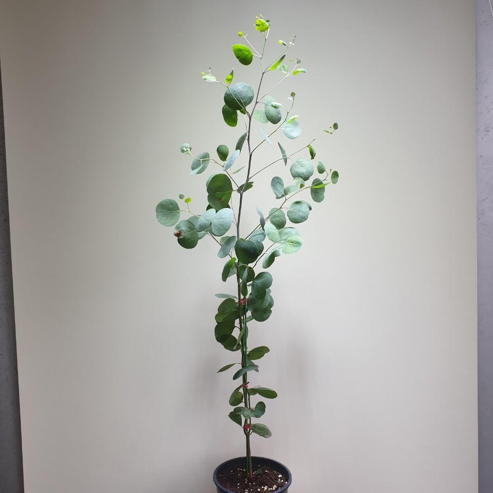 꽃백화점 유칼립투스 폴리안 중대품 60~100cm 149