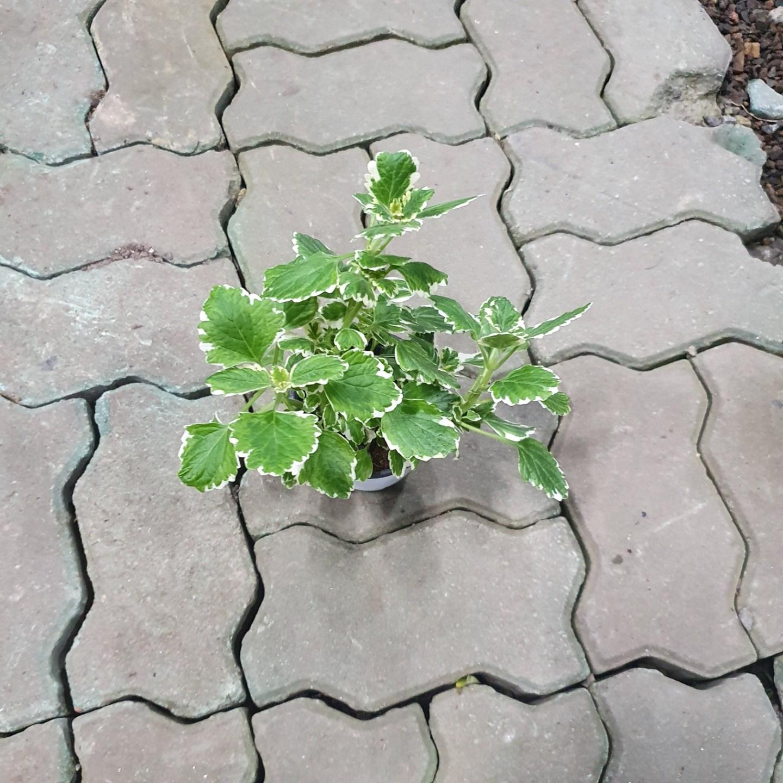 나인에잇틴 캔들플랜트 소품 15~25cm 25 허브 율마 로즈마리 공기정화식물