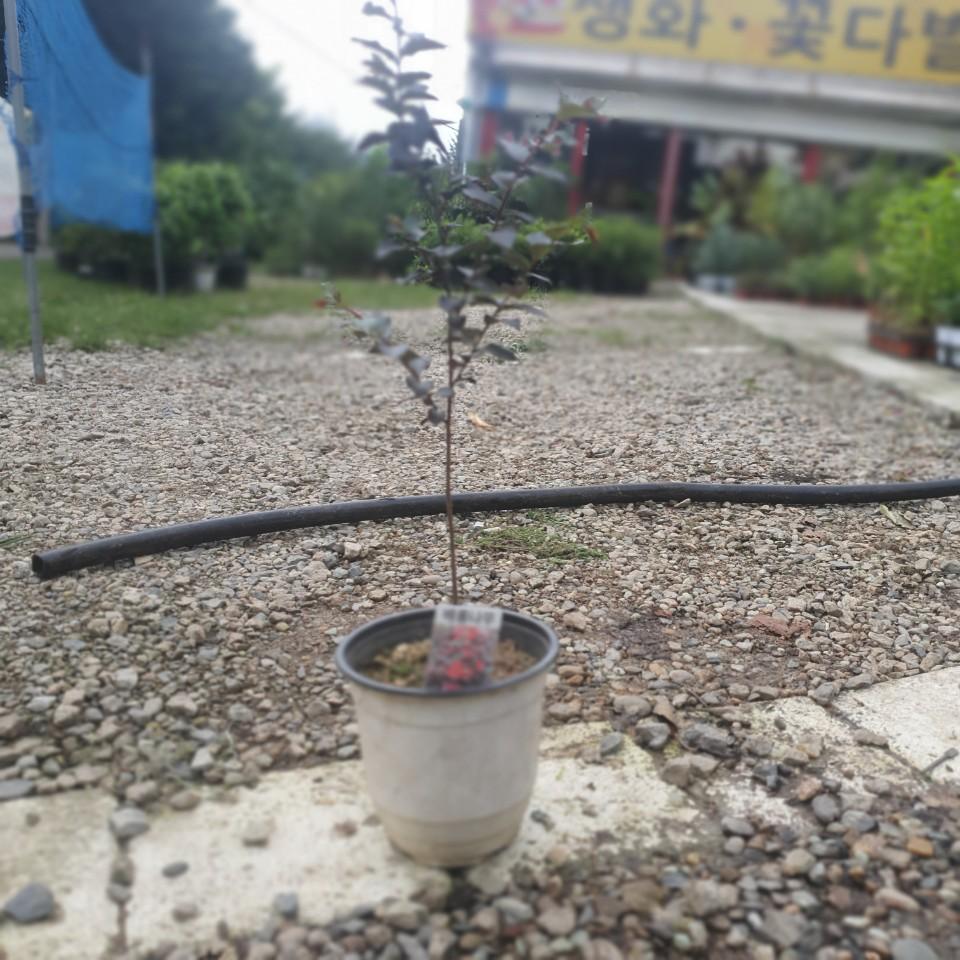 공룡꽃식물원(주)배롱나무 백일홍 야생화 중품 40~60cm 89