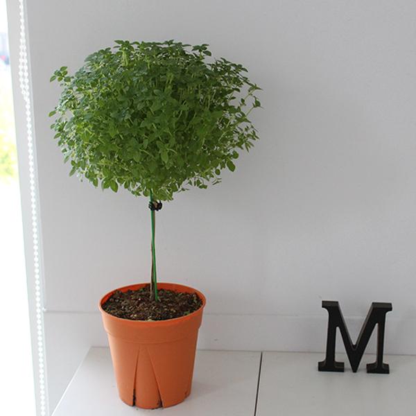 [모리앤]허브식물 민트바질트리 중품