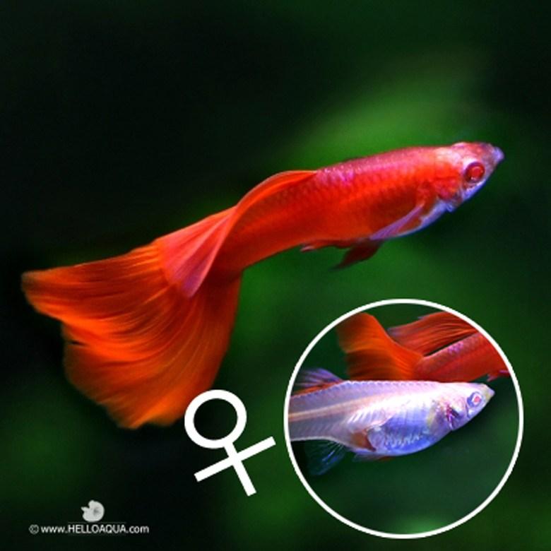 열대어) 암컷 알비노풀레드 2마리 (키우기쉬운물고기 초보자용관상어)