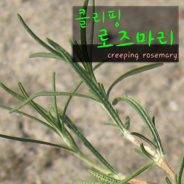 허브여울다육 클리핑로즈마리(크리핑creeping rosemary) 지름 10cm 소품화분, 1개