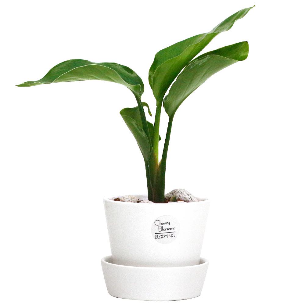 서포트화분 실내 인테리어 화이트 공기정화식물 소형, 26.여인초