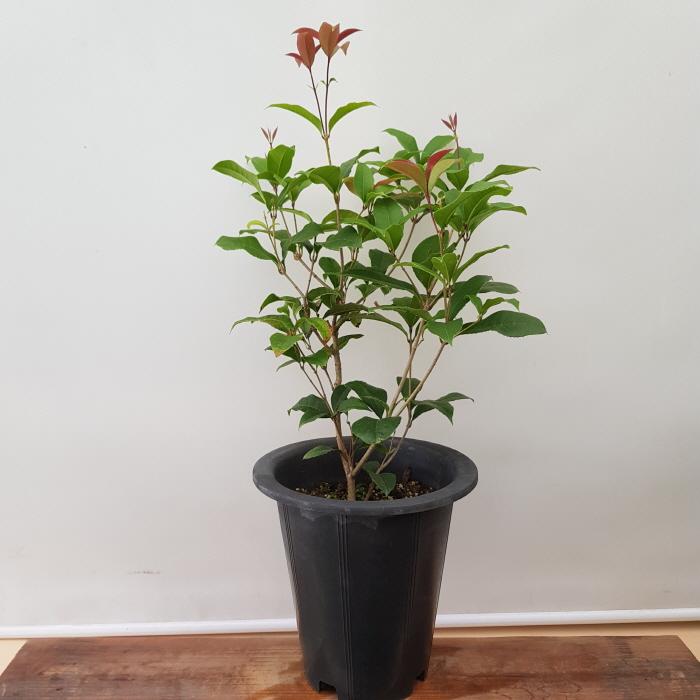 [용이네 화원] 향긋한 꽃이 피는 계화나무 개화나무 은목서 239