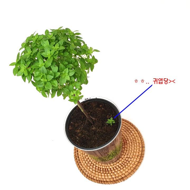 소예방 바질트리 (중소품) 허브식물 인테리어 실내공기정화