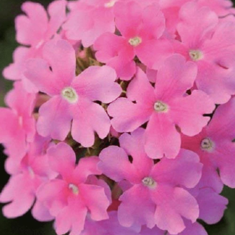복남이네야생화 파라솔버베나 네온핑크 [4포트] (10cm포트 버베나 테네라 시싱허스트 여름꽃 키작은 긴개화 모종)