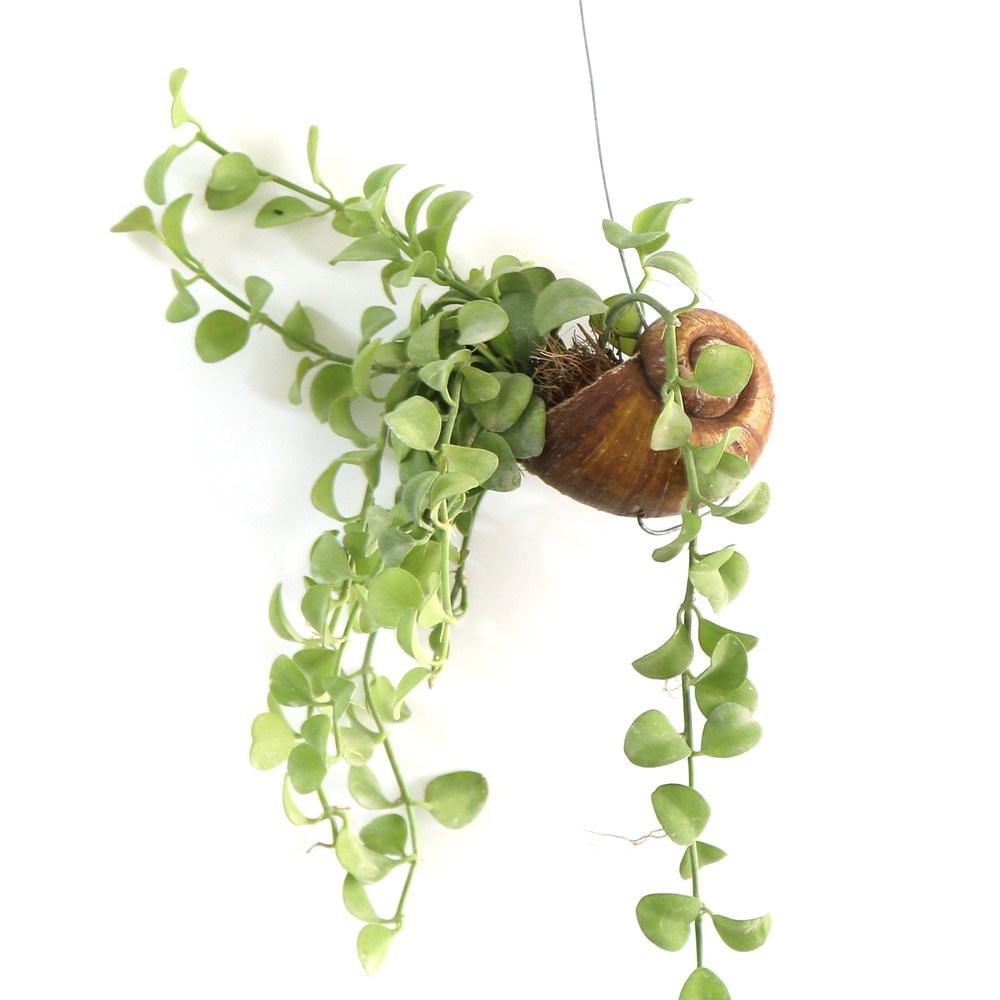 갑조네 틸란드시아 모음 에어플랜트 공기정화식물 인테리어 식물 행잉플랜트, 42.디시디아 소라(그린)