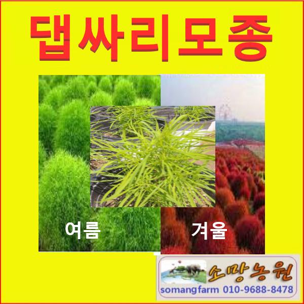 G(소망)댑싸리 모종(포트) 3그루