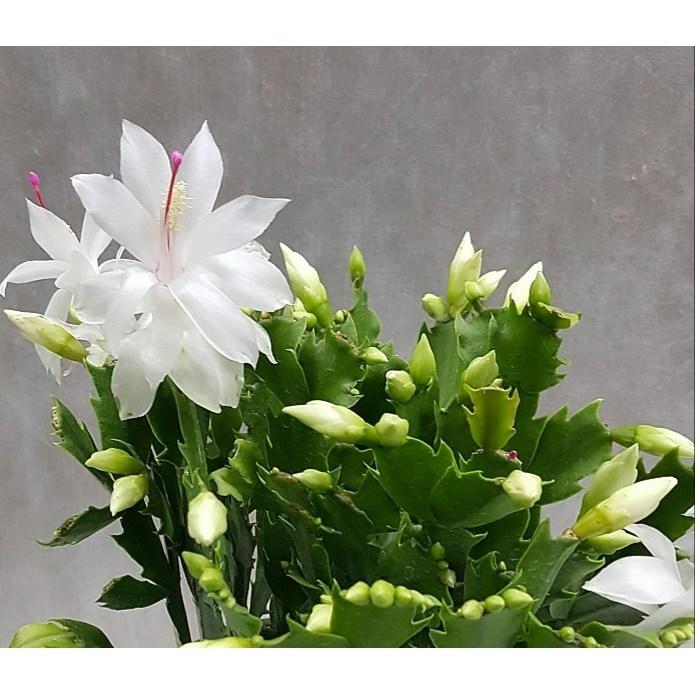 행복한꽃순이//게발선인장 (흰색)/가을게발/대