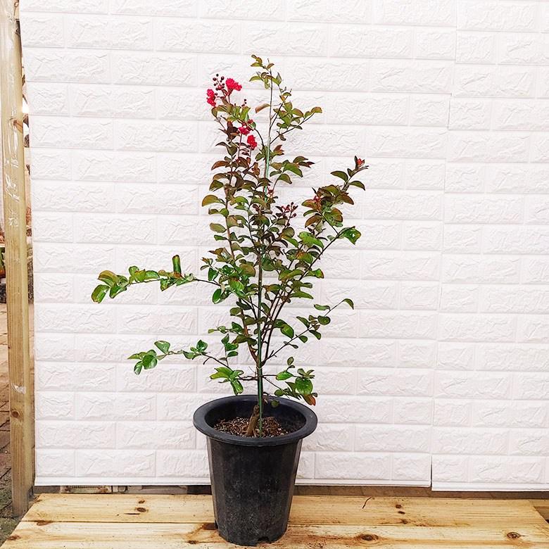 [하늘꽃농원] 백일동안 꽃이 피고지는 목백일홍