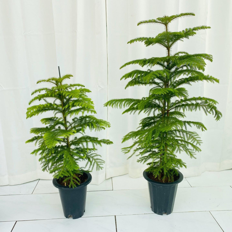 청년농부 아라우카리아 아레우카리아 크리스마스트리 트리식물 트리꾸미기, 중형