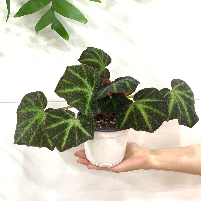 [더 라라플랜트]베고니아 솔리무타타 특이식물 공기정화식물