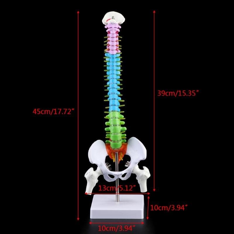 45cm 이동식 인간 척추 모델 척추 척추 요추 곡선 해부학 교육 도구 (POP 5759715910)
