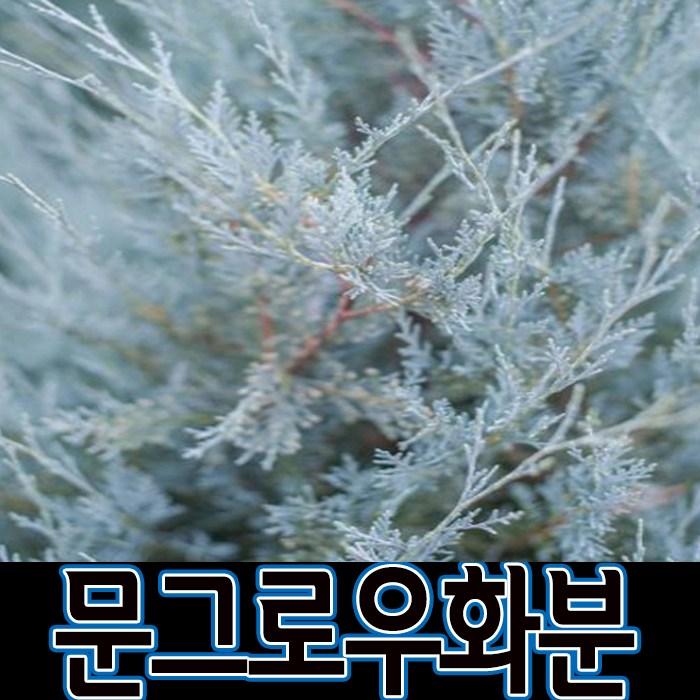순희농장 문그로우나무 묘목 문그로우 화분(1m전후) 정원수 울타리, 1개, 문그로우화분(1m전후)-1개