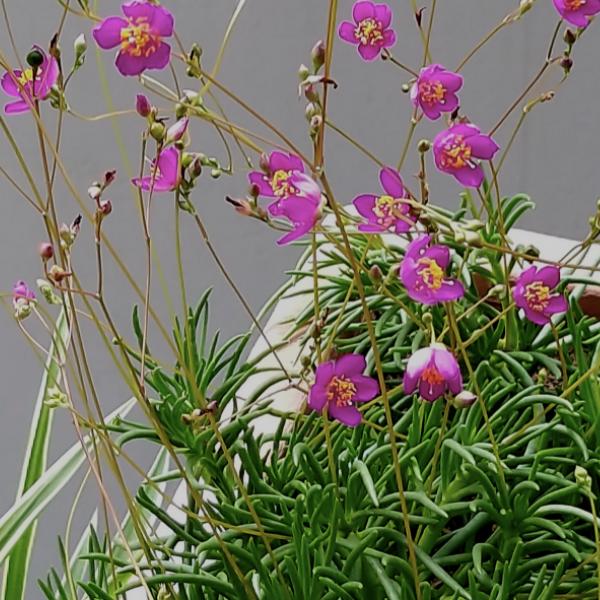 복남이네야생화 굿바이-초화화 핑크 [4포트] (10cm포트 앙증 키작은 긴개화 다육식물 여름꽃 모종)
