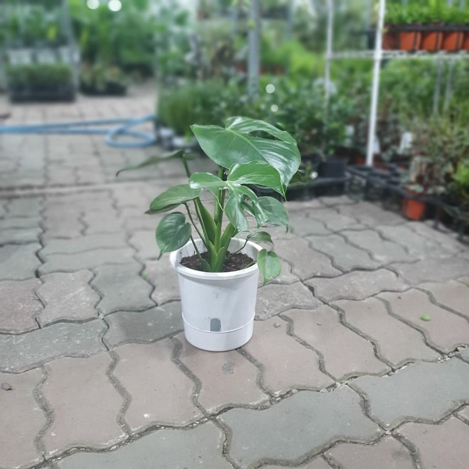 식물공장 2촉몬스테라델리시오사 중품 30~60cm 119 공기정화식물 반려식물 관엽식물