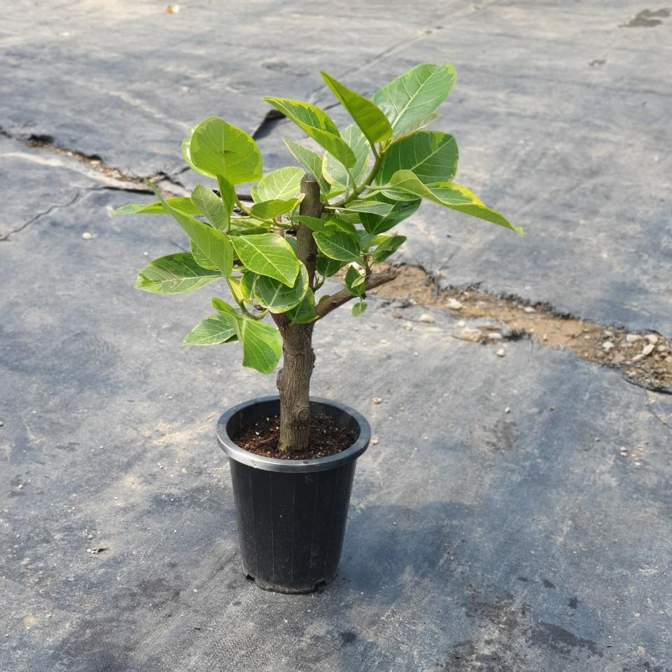 꽃백화점 뱅갈고무나무 중대품 229 반려식물