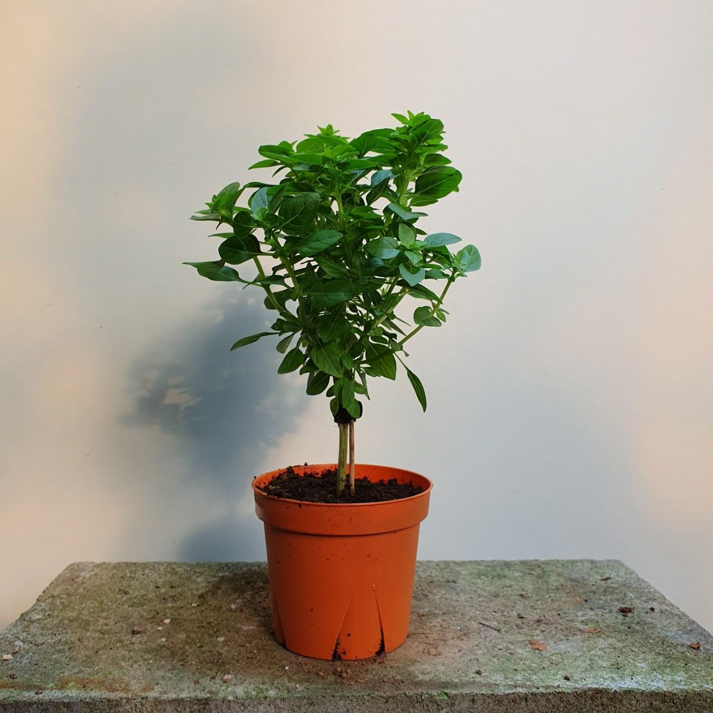 [나인에잇틴]바질트리나무 외목대 허브 79