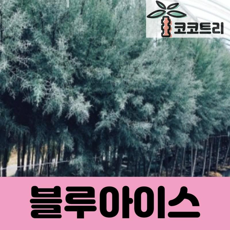 [코코트리] 블루아이스 측백나무 묘목, 1개, 블루아이스 삽목3년 포트