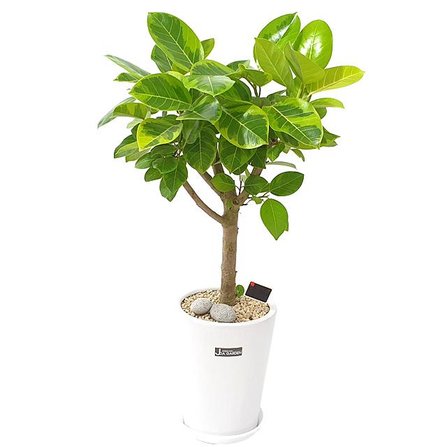 햇살농장 중대형 공기정화식물 인테리어 개업화분, 1개, 5.(대형)뱅갈고무나무