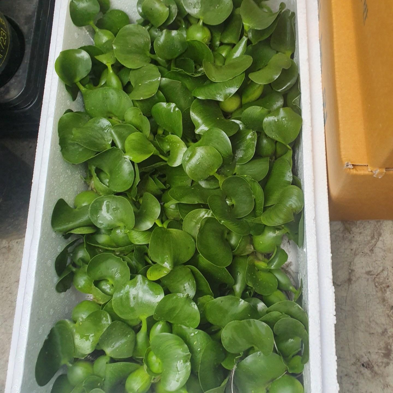 식물 공장 20개 식물도매 대량구매 부레옥잠 수생식물 물배추 소품 공기정화식물 반려식물 관엽식물 10