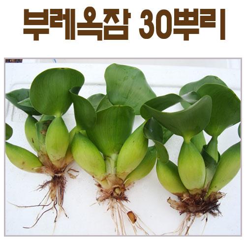 생물농장 부레옥잠30뿌리