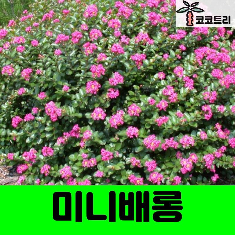 미니배롱(백일홍) 나무, 5치포트