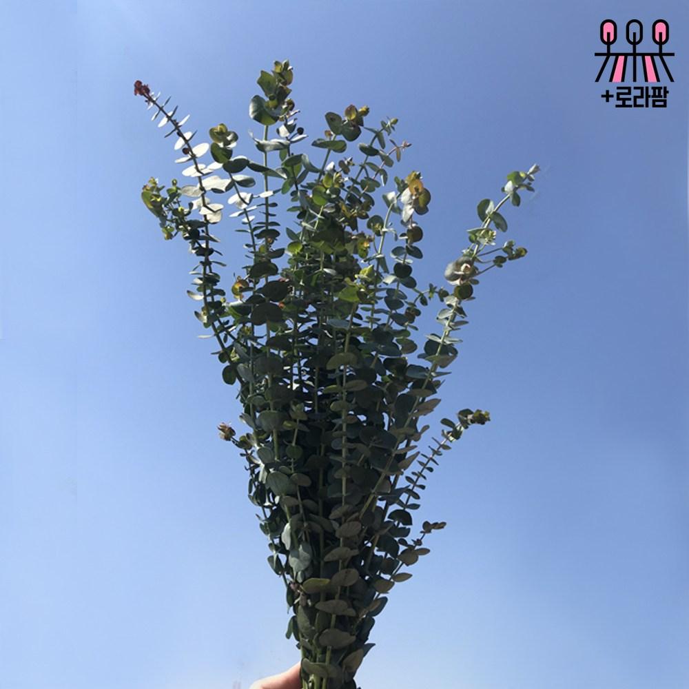 로라네팜 농장직송 유칼립투스 블랙잭 생화택배 공기정화식물 5종, 루스커스