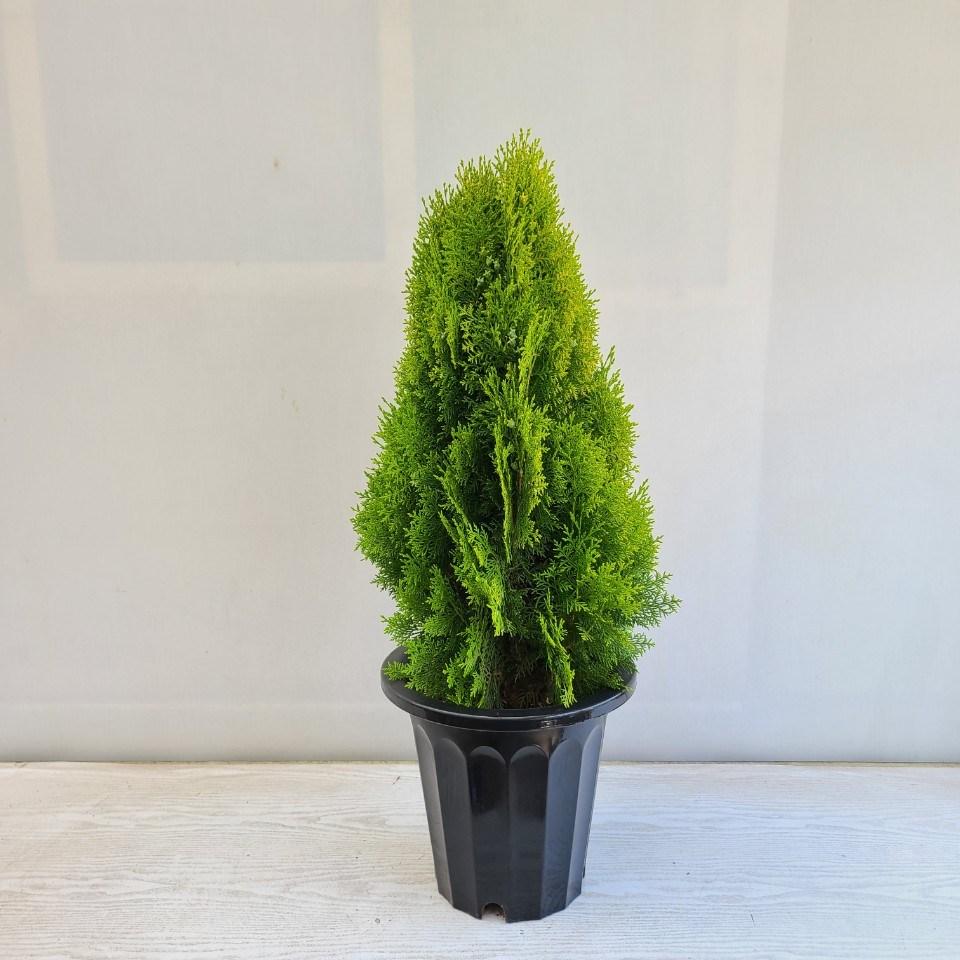 온누리농원 황금측백나무 공기정화식물 반려식물