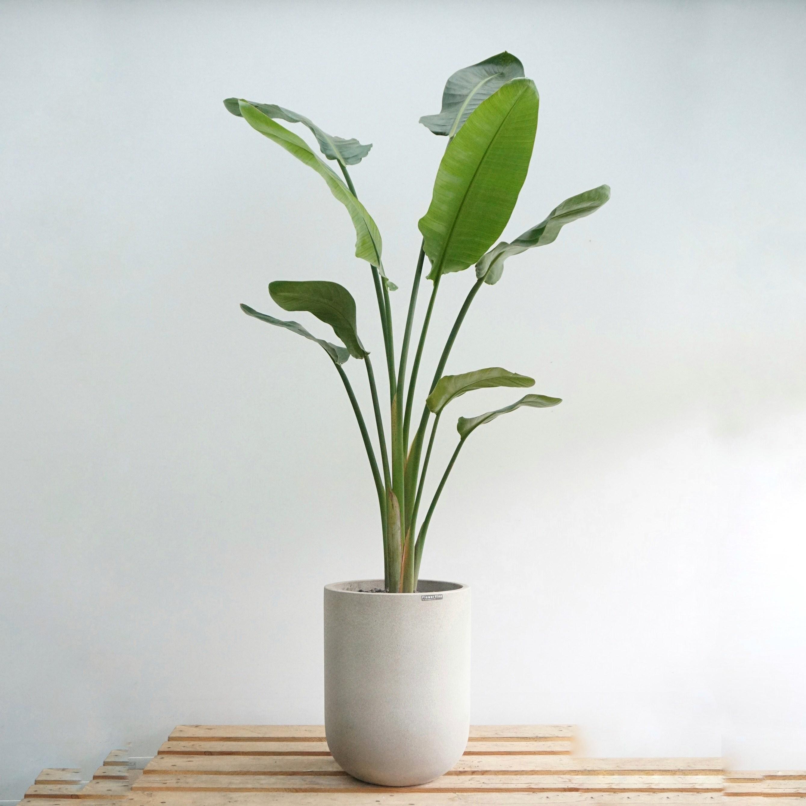 플라워바인 초대형 극락조 여인초 빈티지그레이화분 인테리어 실내식물
